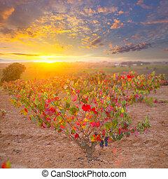Autumn golden red vineyards sunset in Utiel Requena at Spain