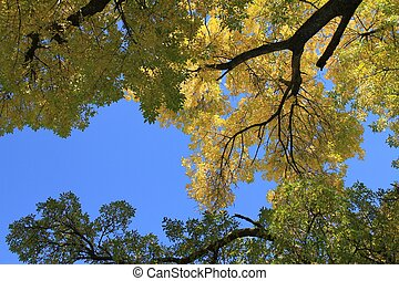 Golden Ash Tree - Showing off its beautiful Autumn colors in...
