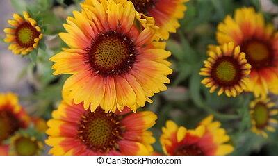 gazania flowers in sun and shade - cheery garden flowers...