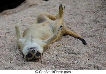 Meercat - Portrait of meerkats sleep on the rock in naure...