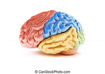 Colored sections of a human brain on a white background....