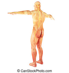 Male Human nervous system on a white background. Part of a...