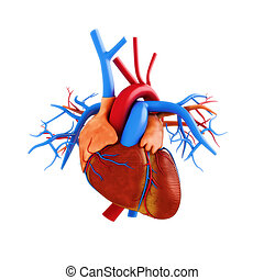 Human heart anatomy illustration on a white background. Part...