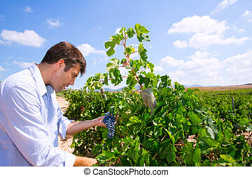 Winemaker oenologist checking Tempranillo wine grapes ready...
