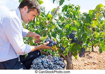 Bobal harvesting with harvester farmer winemaker