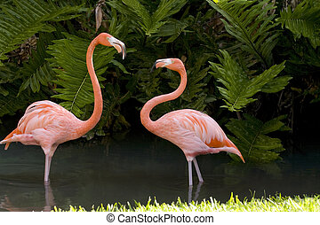 A Flamingo dispute - A pair of Flamingos dispute territory