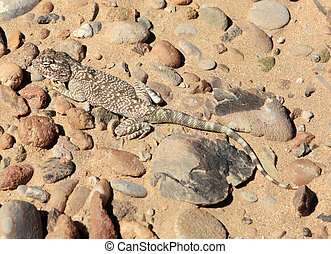 Yellow spotted agama in Qatar - A Yellow Spotted Agama,...