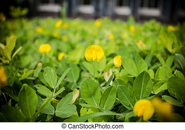 Small yellow flower Pinto Peanut plant,Small yellow flower...