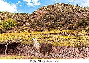 Peruvian vicuna. Farm of llama,alpaca,Vicuna in Peru,South...