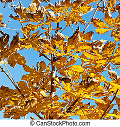 branch of horse chestnut tree with yellow leaves in sunny...