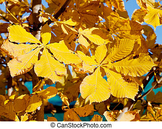 yellow leaves of horse chestnut tree in sunny autumn day...