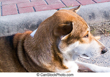 Lonely dog - Dog love brown and white marking on the side of...