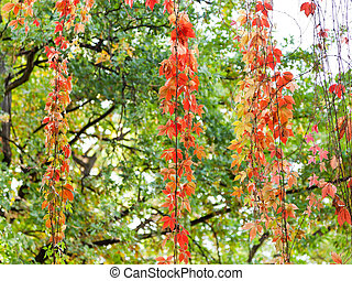 red leaves of climbing plant in autumn evening