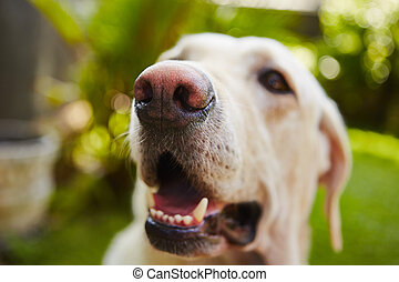 Snout of labrador retriever - selective focus