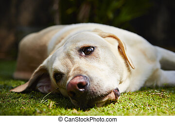 Tired dog - Yellow labrador retriever is lying on the grass...
