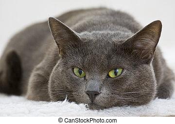 gray cat - portrait of a kitten cat lying on the white...