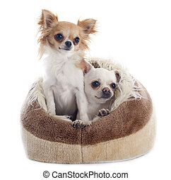 chihuahuas in dog bed in front of white background