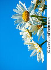daisies against blue sky