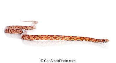 corn snake, elaphe guttata in front of white background
