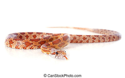 corn snake, elaphe guttata in front of white background