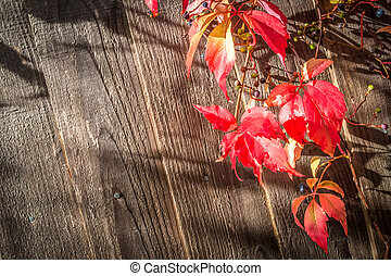 virginia creeper - closeup of red virginia creeper leaves...