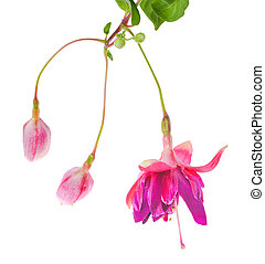 unusual flower of a fuchsia