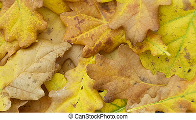 oak leaves - aging autumn leaves close up