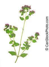 Oregano (Origanum vulgare) - Flowering oregano (Origanum...