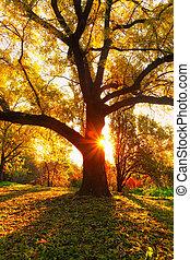 yellow oak tree and natural sun beams at fall season