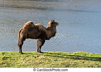 camel in zoological garden - camel with a lake in the...