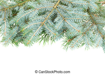 blue  fir tree border  isolated on white background