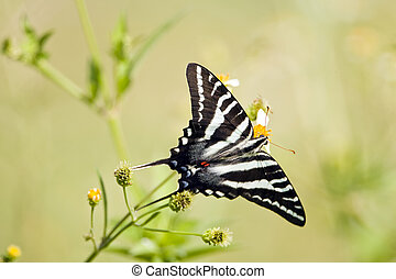A Zebra Swallowtail Butterfly taking nector from roadside...