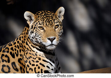 Jaguar, Panthera onca, the third-largest feline after the...