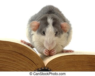 knowledge digestion - domestic rat sitting on opened ancient...