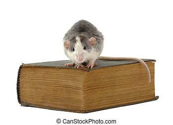 tome of knowledge - domestic rat sitting on ancient book