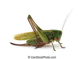 Female grasshopper - green female grasshopper isolated on...
