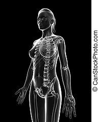 Female skeleton - upper body - 3d rendered illustration of...