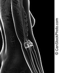 Female skeleton - elbow joint
