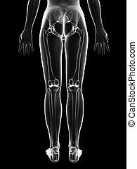 Female skeleton - leg bones - 3d rendered illustration of...