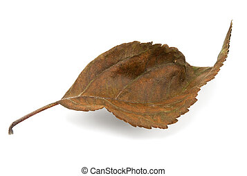 Dry leaf isolated on a white background