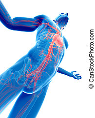 Visible vascular system - 3d rendered illustration of a male...