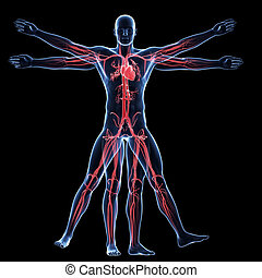 Vitruvian man - vascular system - 3d rendered illustration...