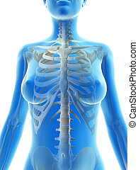 The skeletal thorax - 3d rendered illustration of the...