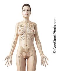 The female skeleton - 3d rendered illustration of the female...