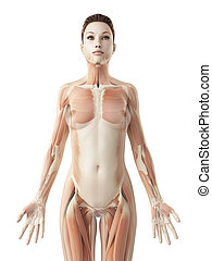 The female muscle system - 3d rendered illustration of the...