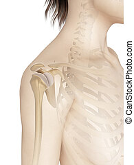 Female shoulder anatomy - 3d illustration of the female...