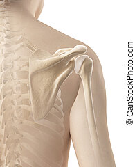 Female shoulder - skeletal anatomy - 3d illustration of the...