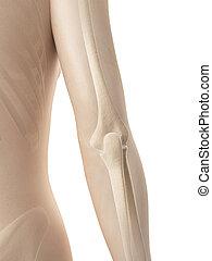 Female elbow joint bones - 3d illustration of the female...