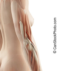 Female arm muscles - 3d illustration of the female arm...
