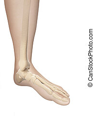 Skeletal foot anatomy - 3d illustration of the skeletal foot...